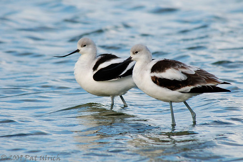 Lovely avocets