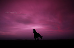 Horse In Dreamy World (MJ ♛) Tags: pink sunset horse black silhouette clouds canon eos purple gray silhouettes efs1855mm explore filter dreamy 1855mm filters majid 2009 efs qatar alahmadi alkhor قطر الخور nd8 nd4 40d ماجد الاحمدي cokinp العقده malahmadi graduatedgray العقدة