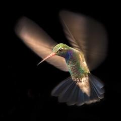 Momentum (Alfredo11) Tags: flowers naturaleza motion flores nature colors nikon hummingbird movimiento beijaflor colibri picaflor nikonsb600 nikonsb800 pocketwizard nikoncreativelightingsystem yourbest nikond3 nikon70200mm28 vosplusbellesphotos nikonsb900 elinchromlite2