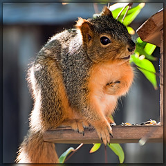 """Who? Me?"" (Images by John 'K') Tags: fence squirrel critter feeder explore johnk explored carolinajessamine specanimal d5000 johnkrzesinski randomok"