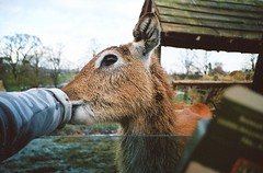 feeding deer (Adele M. Reed) Tags: animal 35mm fur fuji feeding deer safari 200 nikonl35