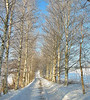 Small road with birch trees (Ingrid0804) Tags: road trees winter friends snow denmark birch birchtrees roadslesstravelled coth abigfave theunforgettablepictures 100commentgroup updatecollection