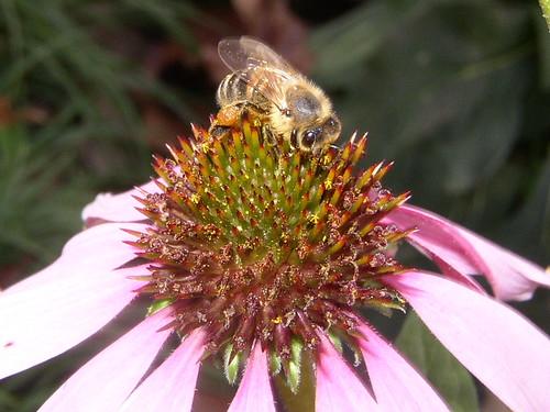 Bee coneflower eyes 11.29