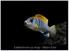 labidochromis hongi_800_01 (Bruno Cortada) Tags: malawi marino mbunas cclidos sudafricanos tanganyica