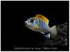 labidochromis hongi_800_01 (Bruno Cortada) Tags: malawi marino mbunas cíclidos sudafricanos tanganyica