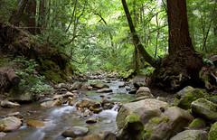 Tranquility (Zack Podratz) Tags: california santacruz tree green forest canon river moss rocks peaceful tranquility 7d redwood norcal 1740mm ef1740mmf4lusm canon7d