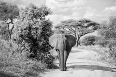 The Elephants of Tarangire National Park (virtualwayfarer) Tags: tarangirenationalpark tarangire nationalpark wildlife animals wild safari adventuresafari photosafari canon dslr decembersafari tanzania africa tanzanian blackandwhite blackandwhitephotography subsahara subsaharanafrica eastafricariftvalley riftvalley elephant mammal elephants wildelephant beautifulelephant herd family familyofelephants africanelephant endangered powerful charge charging curious inquisitive road natgeoinpsired nationalgeographicinspired alexberger safariphotos adventuretravel solotravel travelinspiration photographyinspiration