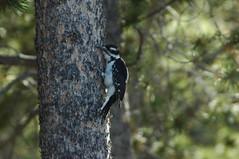WOODY (Tod Hardin) Tags: coyote animals colorado wildlife moose hummingbirds elk marmots coloradowildlife