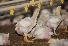 Criadouro de galináceos (Saulo Cruz) Tags: minasgerais rural de little pássaro breeding poultry bichos chiken criação galinhas pintinhos galos pintos uberlândia galináceos criadouro saulocruz littlechiken afugadasgalinhas
