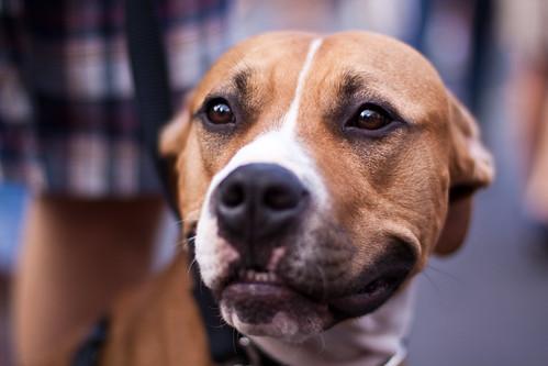 Bastille Dog