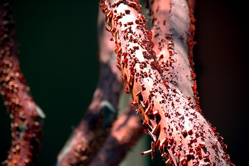 manzanita texture