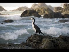 shag (Jake Faulkner) Tags: ocean bird beach water rocks waves cormorant shag