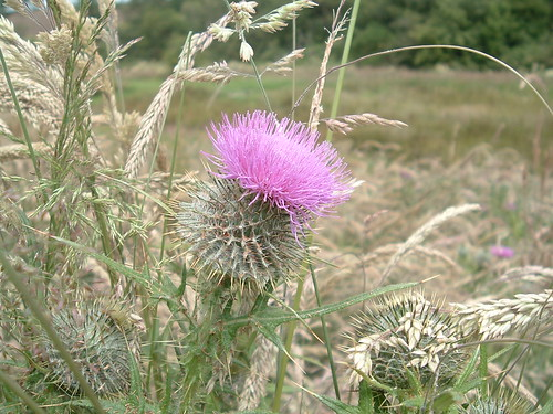 scottish thistles july 2009 040