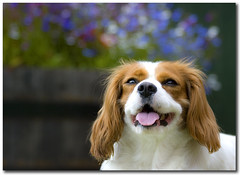 Cavkeh! (Martyn Starkey) Tags: dog wednesday bokeh spaniel cavalierkingcharles jorja mywinners vosplusbellesphotos