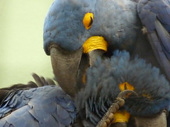 I'm sure that feels good (shimmertje) Tags: blue two holland bird netherlands amsterdam zoo parrot help macaw hyacinth preen artis featheryfriday