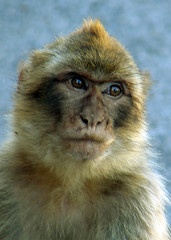 Gibralter ape (Mr Grimesdale) Tags: monkey sony ape gibralter barbaryapes barbaryape mrgrimsdale rockofgibralter stevewallace dsch2 mrgrimesdale