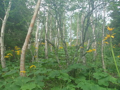 Yellow Wildflower Hanabatake (brycewgarner) Tags: plant japan 日本 wildflower nagano hanabatake 花畑 oshika shiomidakehike