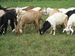 Bucks grazing in 2009 test