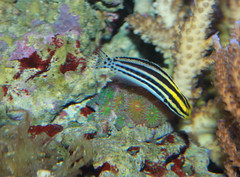 Striped poison fang blenny - Meiacanthus by brian.gratwicke, on Flickr