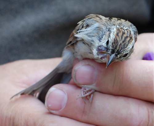 chipping sparrow tumor
