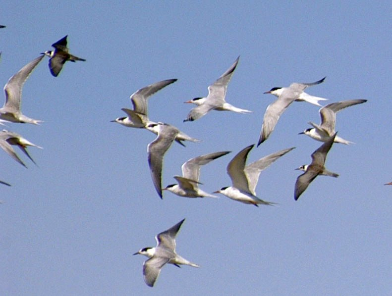 Common Terns and Black Terns