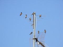 Hirundo rustica - Barn Swallow - Boerenzwaluw (Maico Weites) Tags: camping bird barn july croatia aves 24 juli swallow 2009 antenne vogel istri istra zwaluw rustica boerenzwaluw hirundo kroati polari istrin