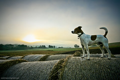 Do dogs enjoy beautiful nature? (Voetmann) Tags: trees light sky dog mist field fog proud sunrise haze canon5d sigma1224mm haybales bastian beautifulnature voetmann halmballer
