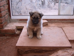 Elkhound Puppy (Tom_Martin2010) Tags: dog pet cute animal puppy mammal fat young hound fluffy fluff tiny pup elkhound