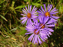 Purple flowers, Kleinburg, Ontario (Richard Wintle) Tags: ontario canada flower purple kleinburg aster alpineaster highway27 asteralpinus