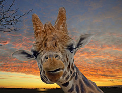 To Celebrate One Year on Flickr (Steve Wilson - over 2 million views thank you) Tags: africa birthday uk sunset england up closeup zoo nikon flickr close cheshire britain african great conservation chester breeding giraffe savannah d200 upton chesterzoo nikond200 caughall