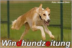 Saluki von Iranpars kommt aus Hamburg, wohnt in Stuttgart, läuft in Sachsenheim ...