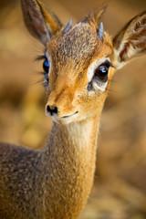 Eyelashes Antelope (mikel.hendriks) Tags: africa portrait male geotagged tanzania eyelashes wildlife antelope breathtaking dikdik tarangirenationalpark specanimal animalkingdomelite canoneos50d specanimaliconoftheweek ourplanet madoquaguentheri gnthersdikdik breathtakinggoldaward sigma120400mmf4556apodgoshsm breathtakinghalloffame tanrangirenationalpark guenthersdikdik