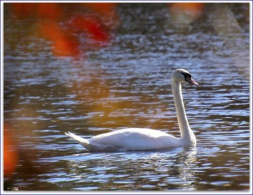 salem end swan