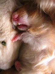 Hamsters 167 (TeTe`) Tags: hamsters