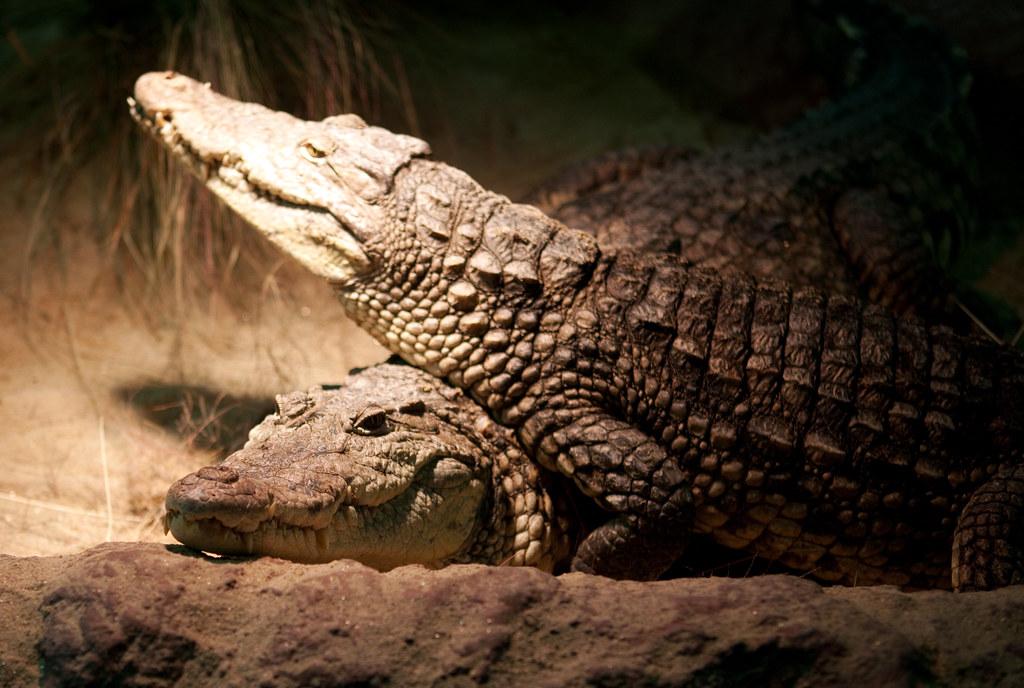 f202cfa0adcfb King) Tags  ireland dublin house zoo reptile crocodile crocodylidae  canoneos5dmkii