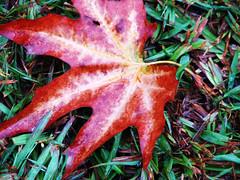 Autumn Leaf on Grass (moniirre) Tags: autumn orange green grass leaf پاييز سبز سبزه برگ چمن نارنجي