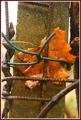 maple leaf (life's observer) Tags: november germany herbst blatt schleswigholstein norddeutschland ahorn