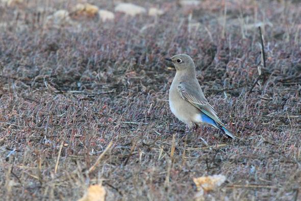 437_mountainBluebird6
