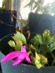 Hello, Christmas Cactus!