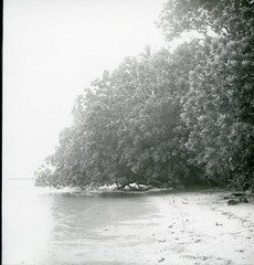 Barringtonia on Manipa Island