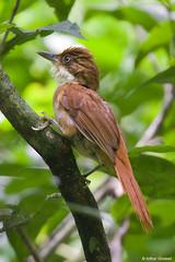 Automolus leucophthalmus - White-eyed Foliage-gleaner (arthurgrosset) Tags: fbwnewbird fbwadded barranqueirodeolhobranco automolusleucophthalmus whiteeyedfoliagegleaner