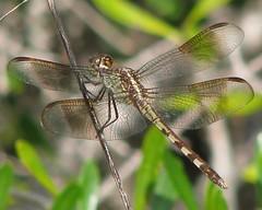 Band-winged Dragonlet (Vicki's Nature) Tags: canon island ode florida dragonfly sanibel s5 dragonlet erythrodiplaxumbrata dingdarlingnwr bandwingeddragonlet vickisnature