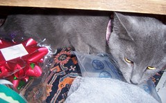 (k8southern) Tags: cats plum bluecat graycat
