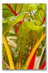 BRIGHT LIGHTS (ian1947) Tags: macro garden greenhouse brightlights guisborough chard