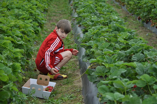 Strawberry Picking ::