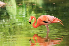 Flamingo on Green (nutterguy) Tags: barcelona travel pink favorite reflection green bird animal zoo spain events flamingo places ripples 2009 colorphotoaward placesspainbarcelona eventstravel seenonflickr