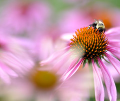 flowers  & a bee (Wils 888) Tags: pink flowers flower macro closeup lens 50mm prime nikon coneflowers cone bokeh bee nikkor d90 hbw nikond90 happybokehwednesday