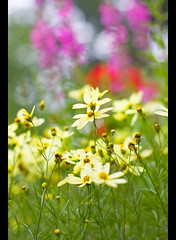 Coreopsis Moonbeam (Pat Kilkenny) Tags: red yellow canon purple bokeh magenta july 2009 coreopsis lythrum coreopsismoonbeam moonbean canon40d beautifulsummer patkilkenny