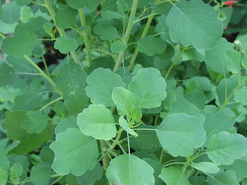 Papalo is a beautiful herb with a flavor that reminds me of cilantro, lime, and nasturtiums.