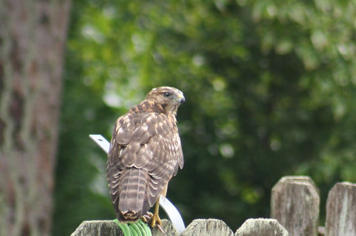 Hawk3827